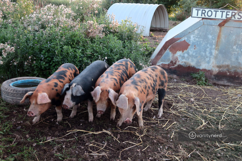 spillers farm pigs