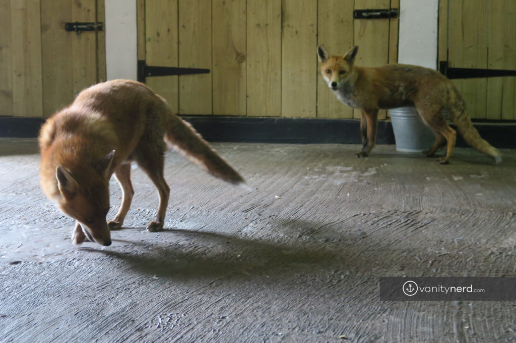 Feadon Farm Foxes